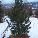Посадочный материал кедра сибирского (сосны сибирской) Алтай, крупномер, высотой 3-3.5 м.