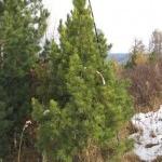 Посадочный материал кедра сибирского (сосны сибирской) Алтай, крупномер, высотой 3-3.5 м. Москва
